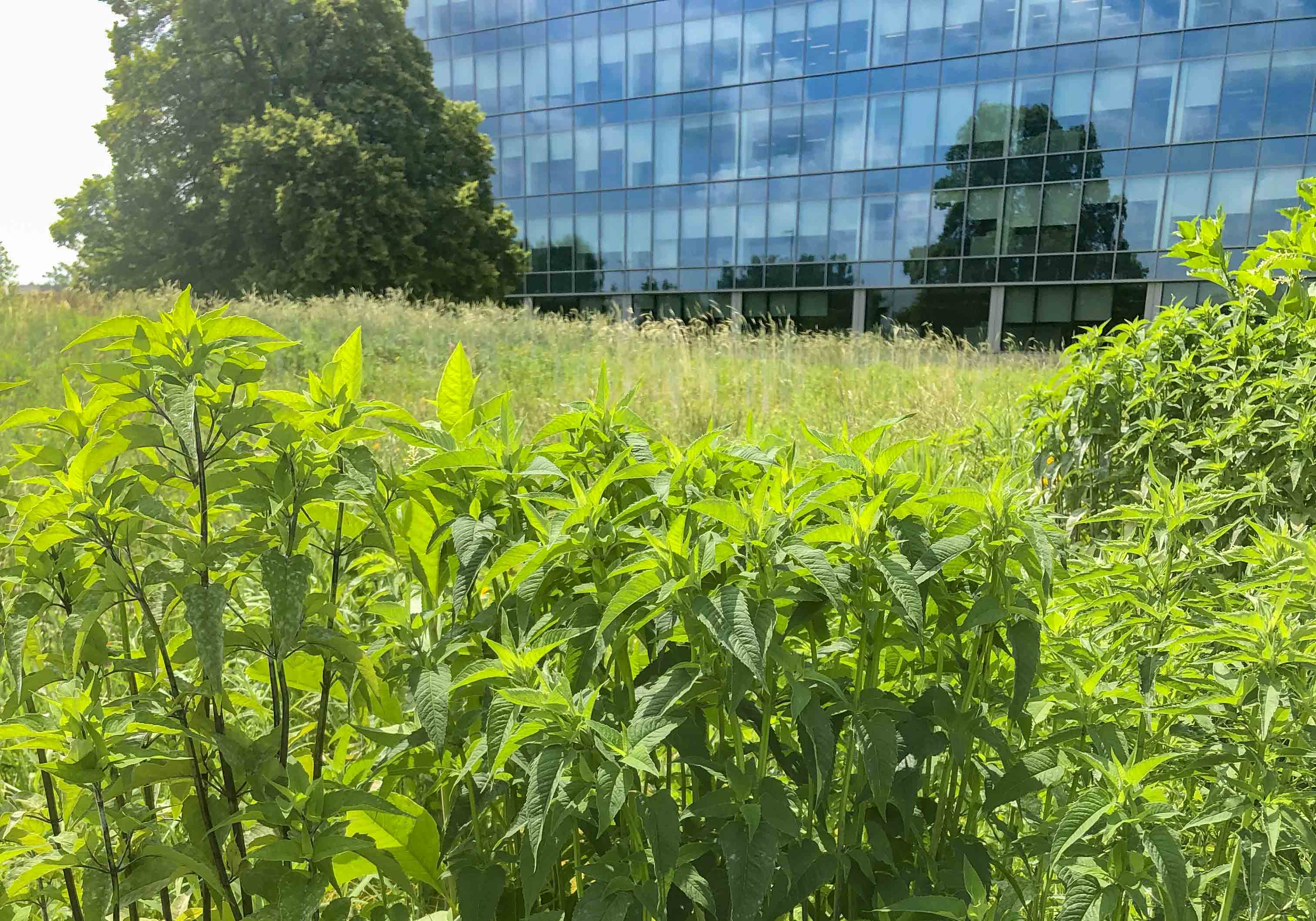 Meadow at McCormick Headquarters project by Mahan Rykiel